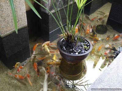 gambar kolam ikan mini di dalam rumah   ikan, kolam