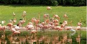 Flamingo Reflections