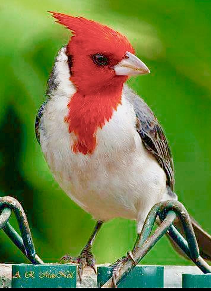 Northern Cardinal Cardinal Rouge Beautiful Birds Pretty Birds Colorful Birds