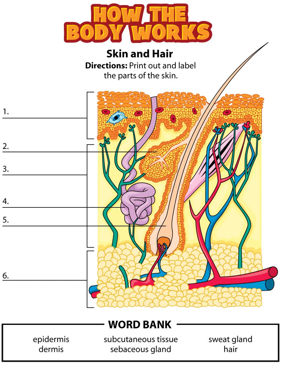 label parts of skin homeschool science biology pinterest human body homeschool and. Black Bedroom Furniture Sets. Home Design Ideas
