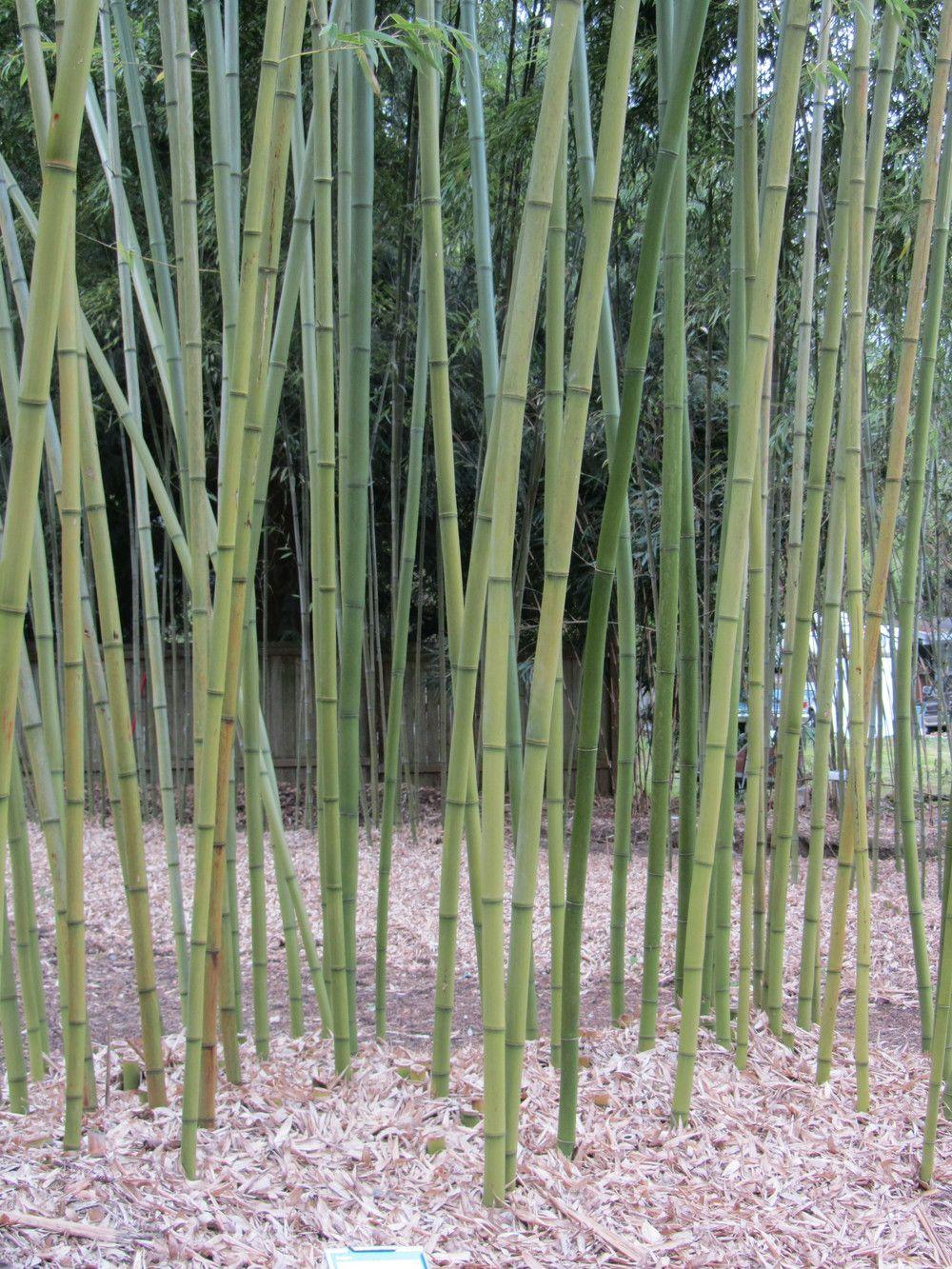 rubro red margin bamboo Bamboocollective
