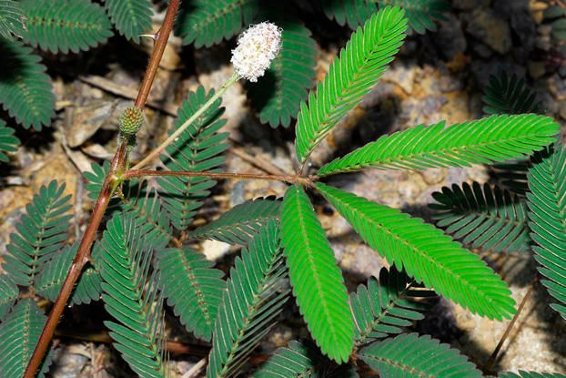 Mimosa Pudica Flowers And Leaves Tattoo Pics Pinterest