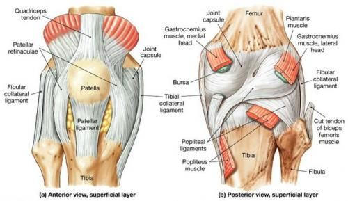 Knee Joint Codinganatomyphysiology Pinterest Synovial Joint