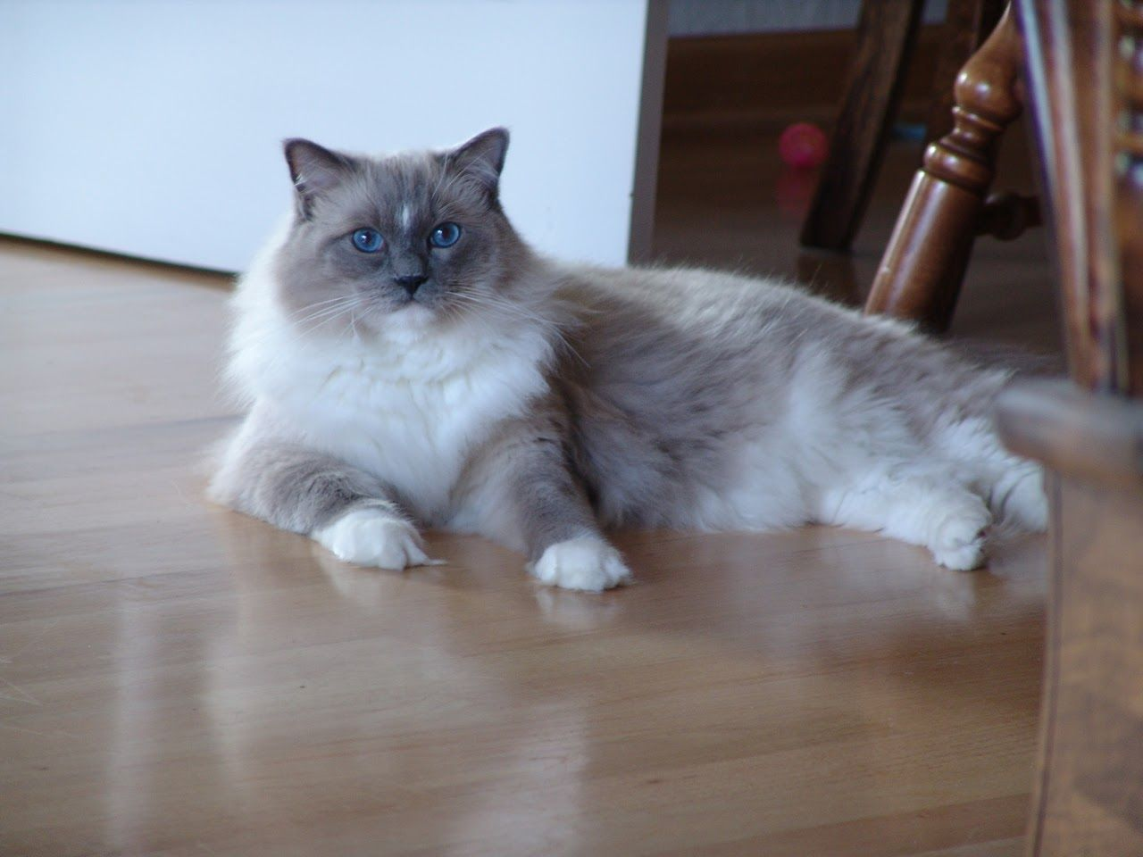 Hobart Ragdoll Of The Week A Blue Mitted Ragdoll Cat With A Blaze Ragdoll Cat Ragdoll Cat Colors Ragdoll