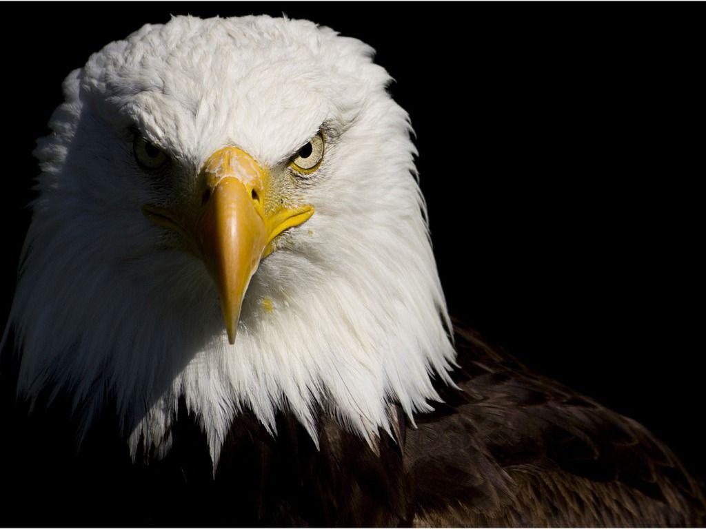 Hd wallpaper eagle - Pics Photos Flying Birds Eagles Bald Eagles Fresh Hd Wallpaper