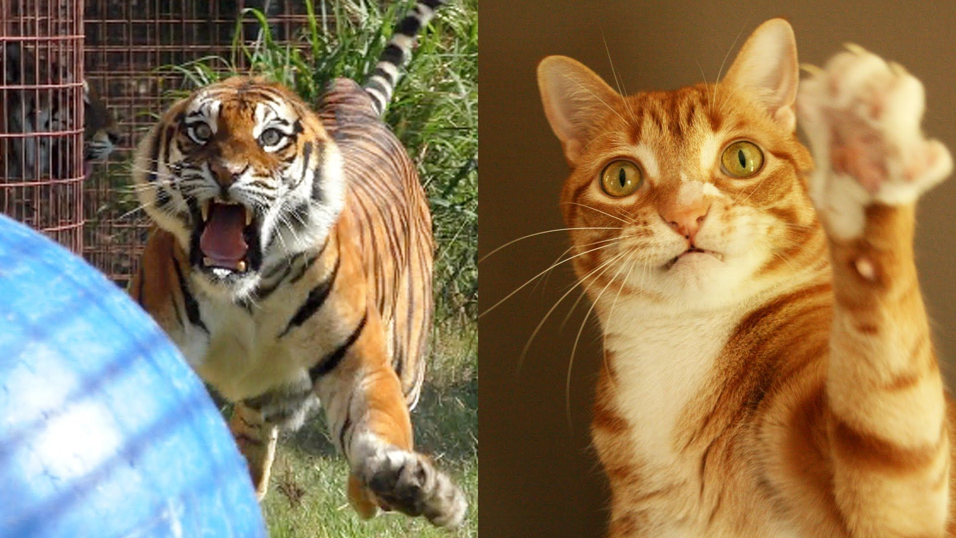 Little Cats Helping BIG Cats! #TreatTheirWildSide - YouTube