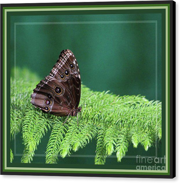 Blue Morpho Butterfly, Framed Canvas Print / Canvas Art By Sandra Huston |  Butterfly Frame, Blue Morpho And Framed Canvas Prints
