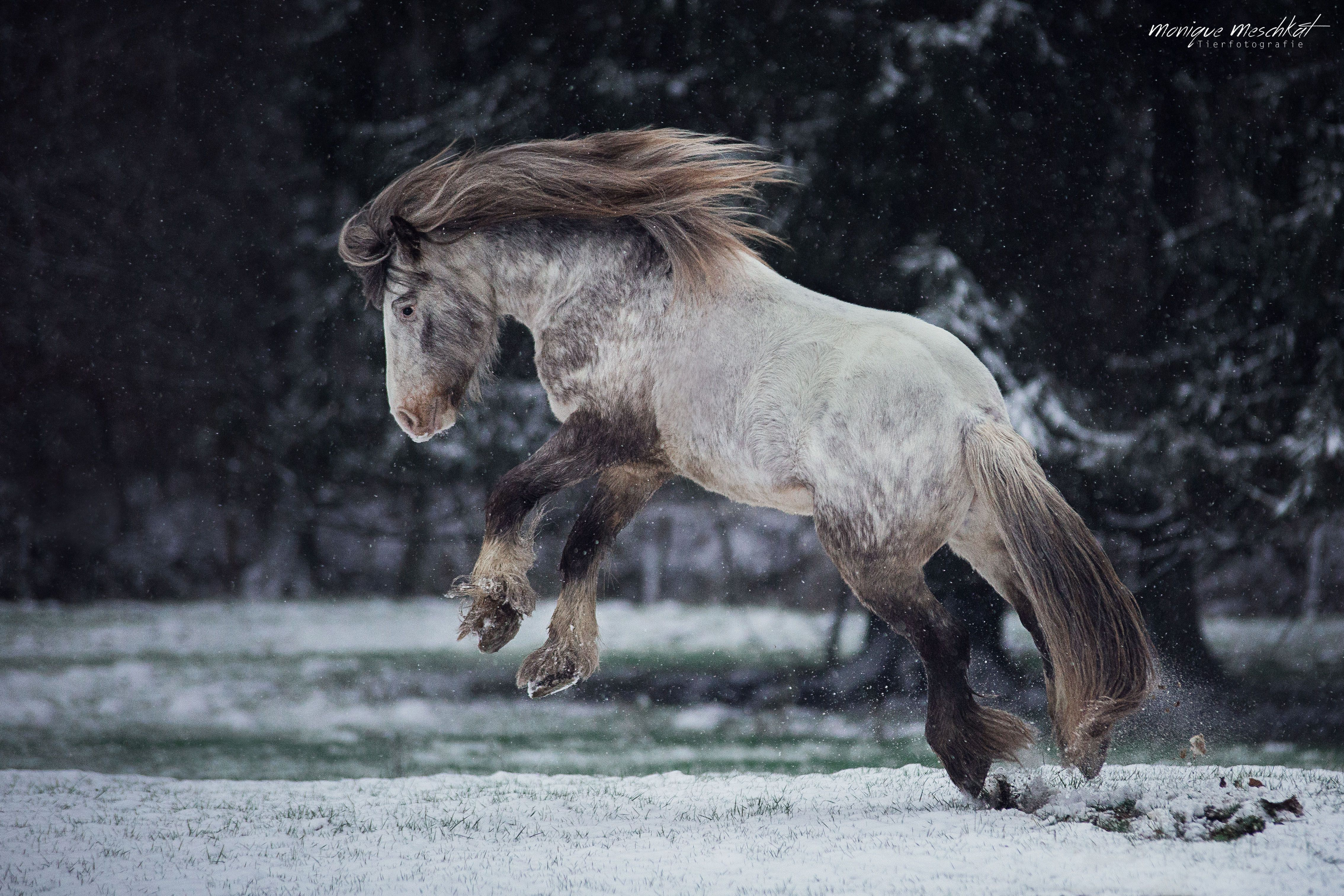 Irish Tinker Stallion Hermits Kilian Playing In The Snow Tinker