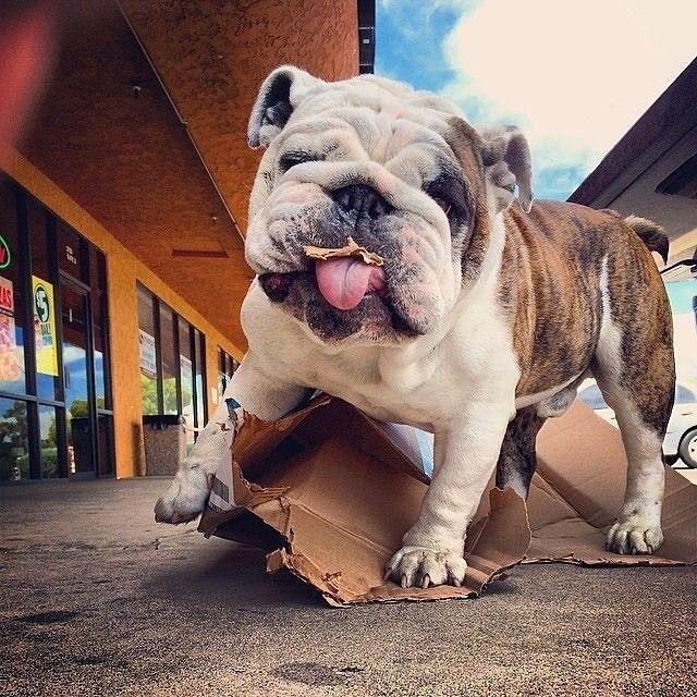 Mine loves cardboard too! #Buldog