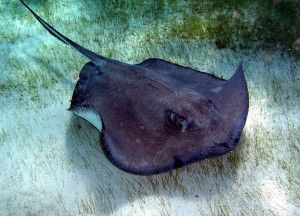Image result for southern atlantic stingray