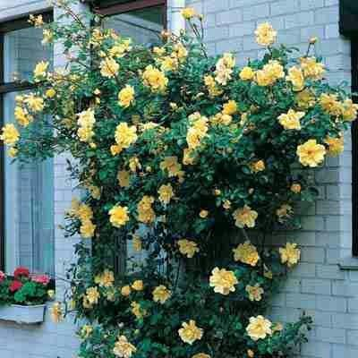 Climbing Peace Rose 14u0027 16u0027 Long 12u0027 15u0027 Spread Deciduous