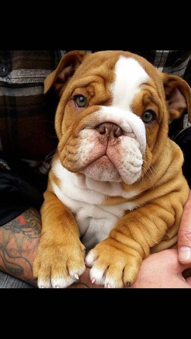 Bestwoof Dogsofinstagram Dailyfluff Bestwoof Puppy Socutetho Ilovemydog Mansbestfriend Dogtra In 2020 Cute Baby Animals Bulldog Puppies English Bulldog Puppies