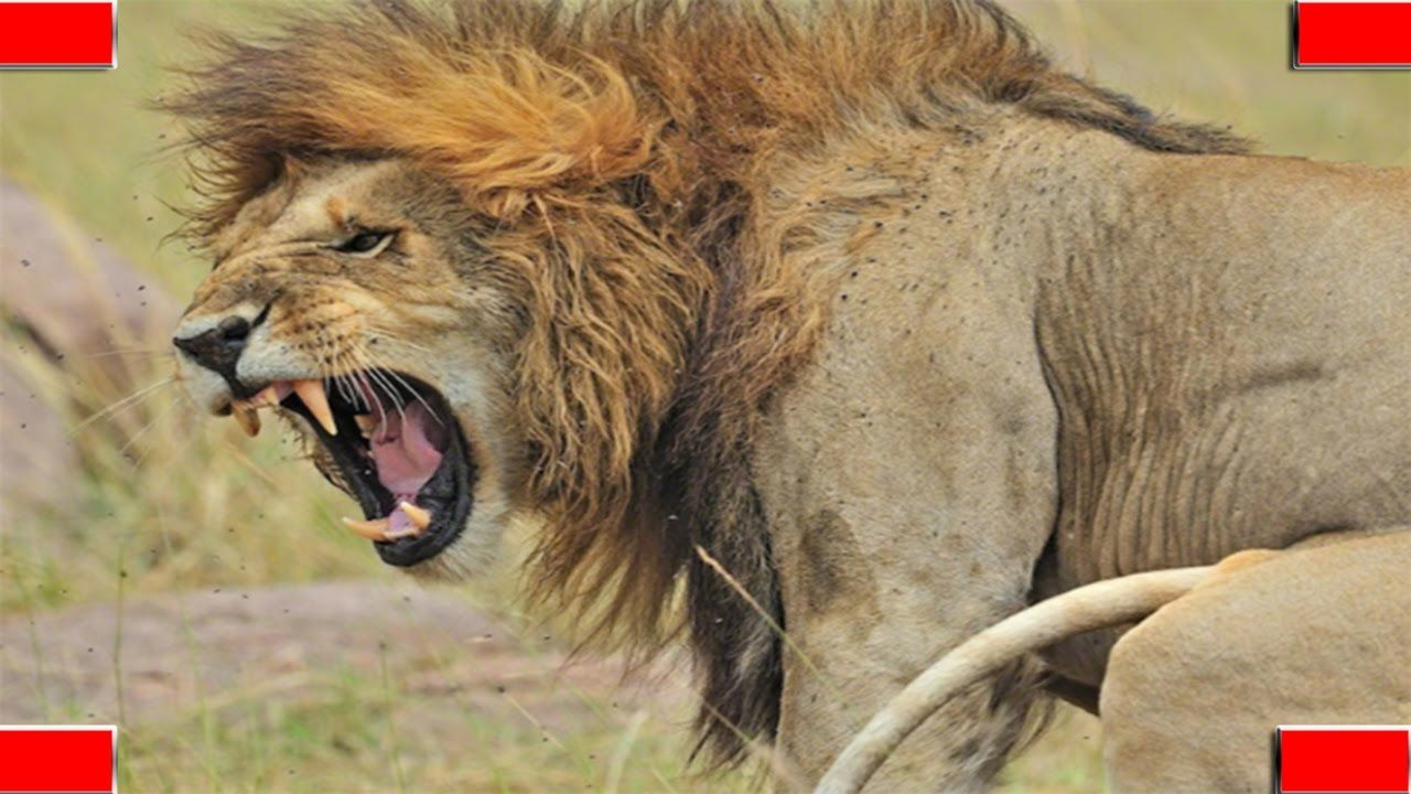 Top 5 angry Lion roar in The World Small wild cats, Lion