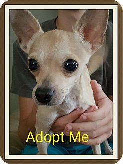 Lehigh Fl Chihuahua Mix Meet Spencer A Dog For Adoption Http Www Adoptapet Com Pet 15898397 Lehigh Florida Chih Dog Adoption Pet Adoption Chihuahua Mix