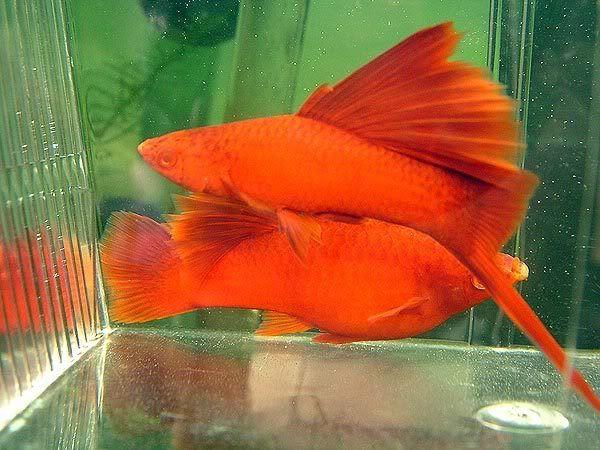 Swordtails Fish Information Red Cherry Shrimp Swordtail Fish Aquarium Fish Home Aquarium Fish