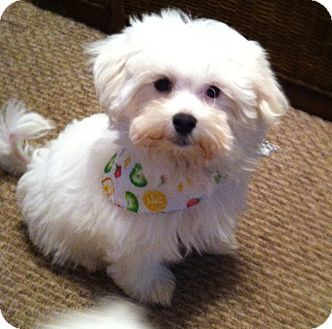 Westport Ct Maltese Meet Marty A Puppy For Adoption Puppy