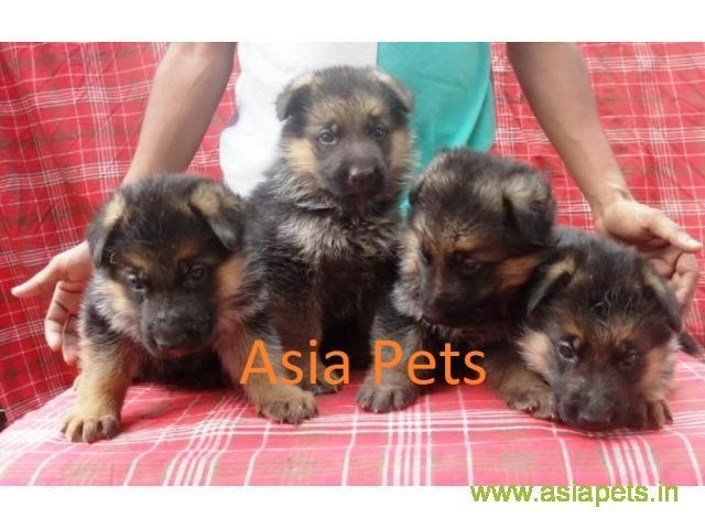 Dogs Pup German Shepherd in Gurgaon, Delhi, Dwarka