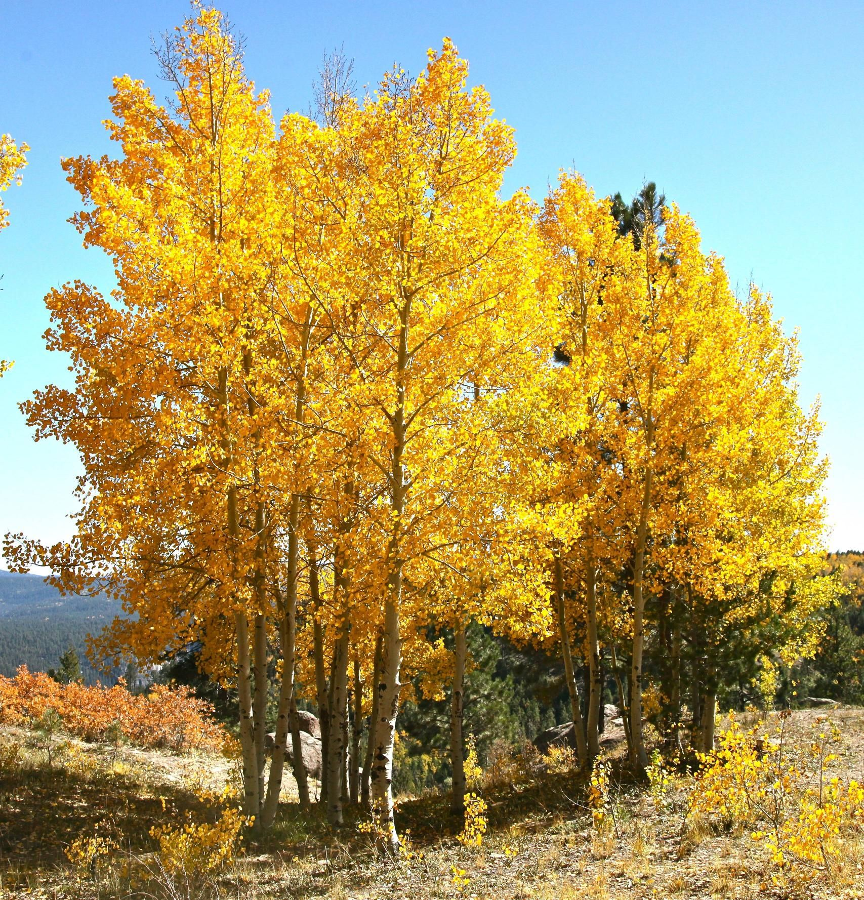 Genus Populus Species Tremuloides Common Quaking Aspen H 20 50 W