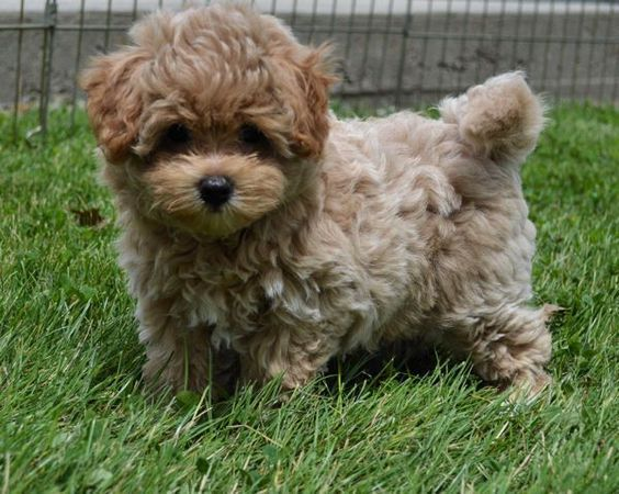 Image Result For Maltipoo Yorkie Mix Puppies Yorkie Poo Pets