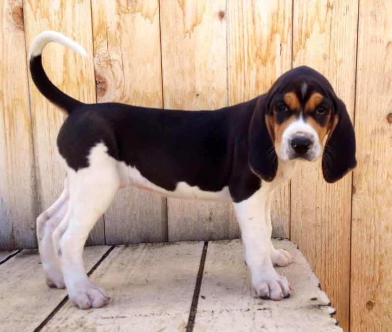 Purebred Walker Hound Puppies3 Females 5 Malesready To Leave