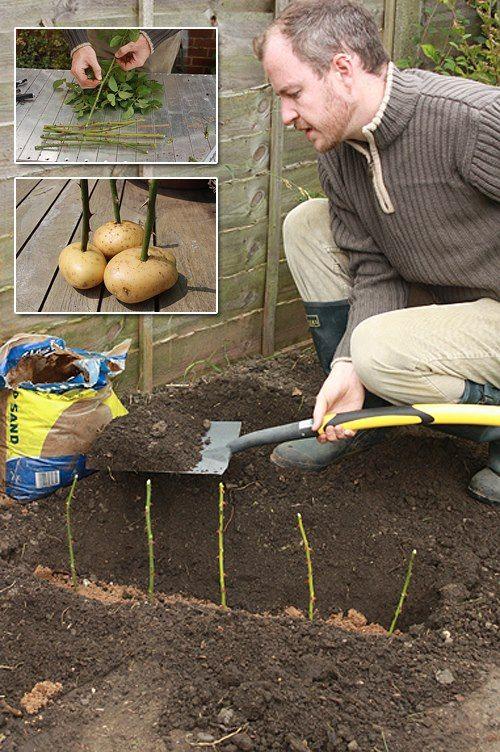 RUŽE ZO ZEMIAKOV. V odľahlejšej časti záhrady vykopeme asi 15 centimetrov hlboký výkop a na jeho dno nasypeme malé množstvo piesku. Z ročných výrastkov ruží odrežeme rovné, okolo 25 centimetrov dlhé stonky. Z ich spodnej časti odstránime lístky a tŕne, v hornej časti ich môžeme, no nemusíme zachovať. Stonky zapichneme každú do zdravého zemiaku. Takéto ich potom vložíme do výkopu asi 15 centimetrov od seba a zasypeme do dvoch tretín hlinou.