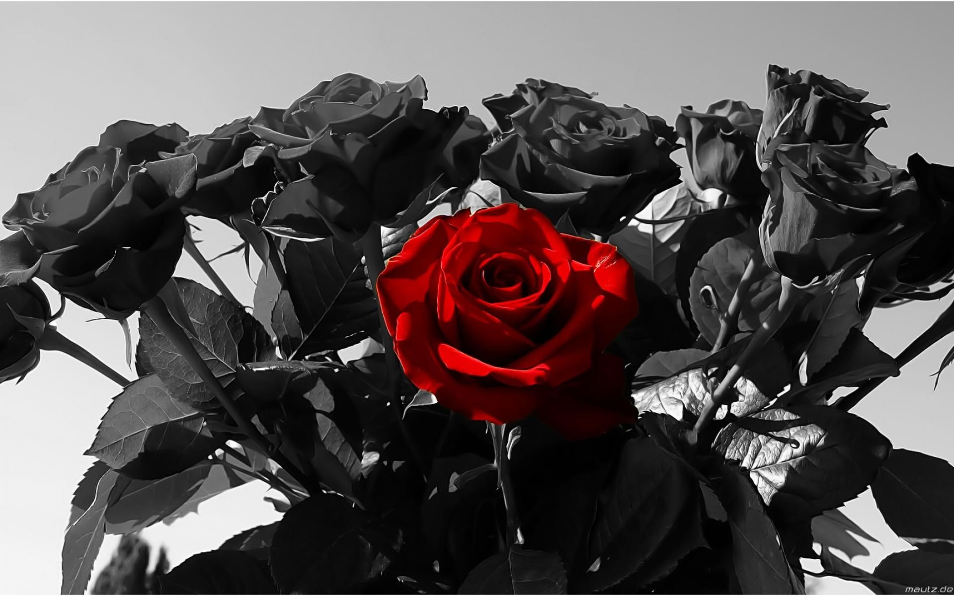 Black Rose Wallpaper Free Flowers Wallpaper Altilici Com Black Roses Wallpaper Black And Red Roses Black And White Background