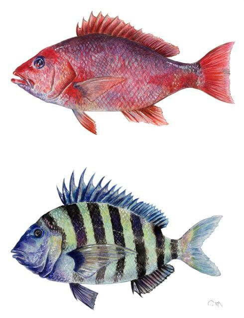 Red Snapper & Sheepshead Fish, watercolor and colored pencil on paper by RicardoMoody   ricardomoody.com
