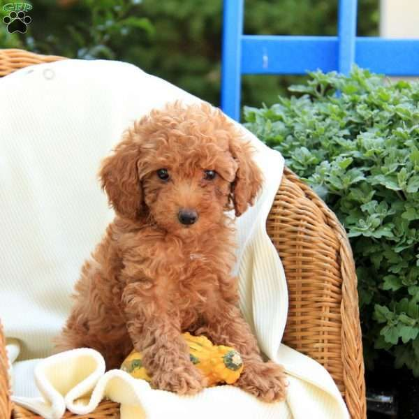 Rosie Greenfield Puppies Toy Poodle Puppies Toy Poodle Puppy