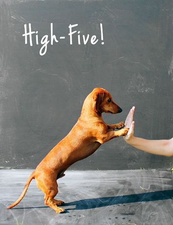 Throwback Thursday Training Day Ammo The Dachshund Funny Dachshund Puppy Time High Five