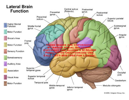 Lateral view of brain with functional areas labeled. | cerebro ...