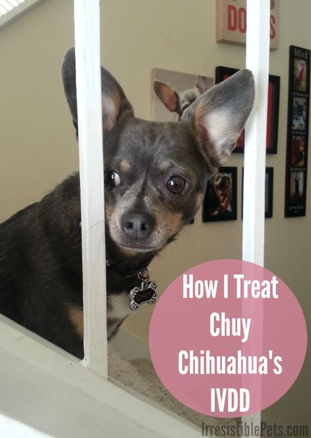 How I Treat Chuy Chihuahua S Ivdd Learn More At Irresistiblepets