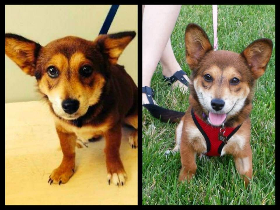Thursday Corgi Adoptables From Foster To Forever I Heart Rescue