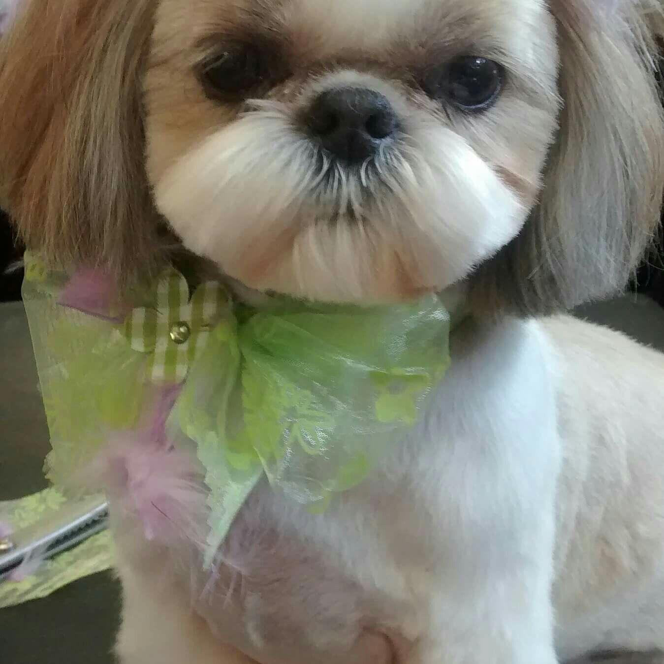 Shih tzu haircut styles pin by corrina scott on jax my fur baby  pinterest