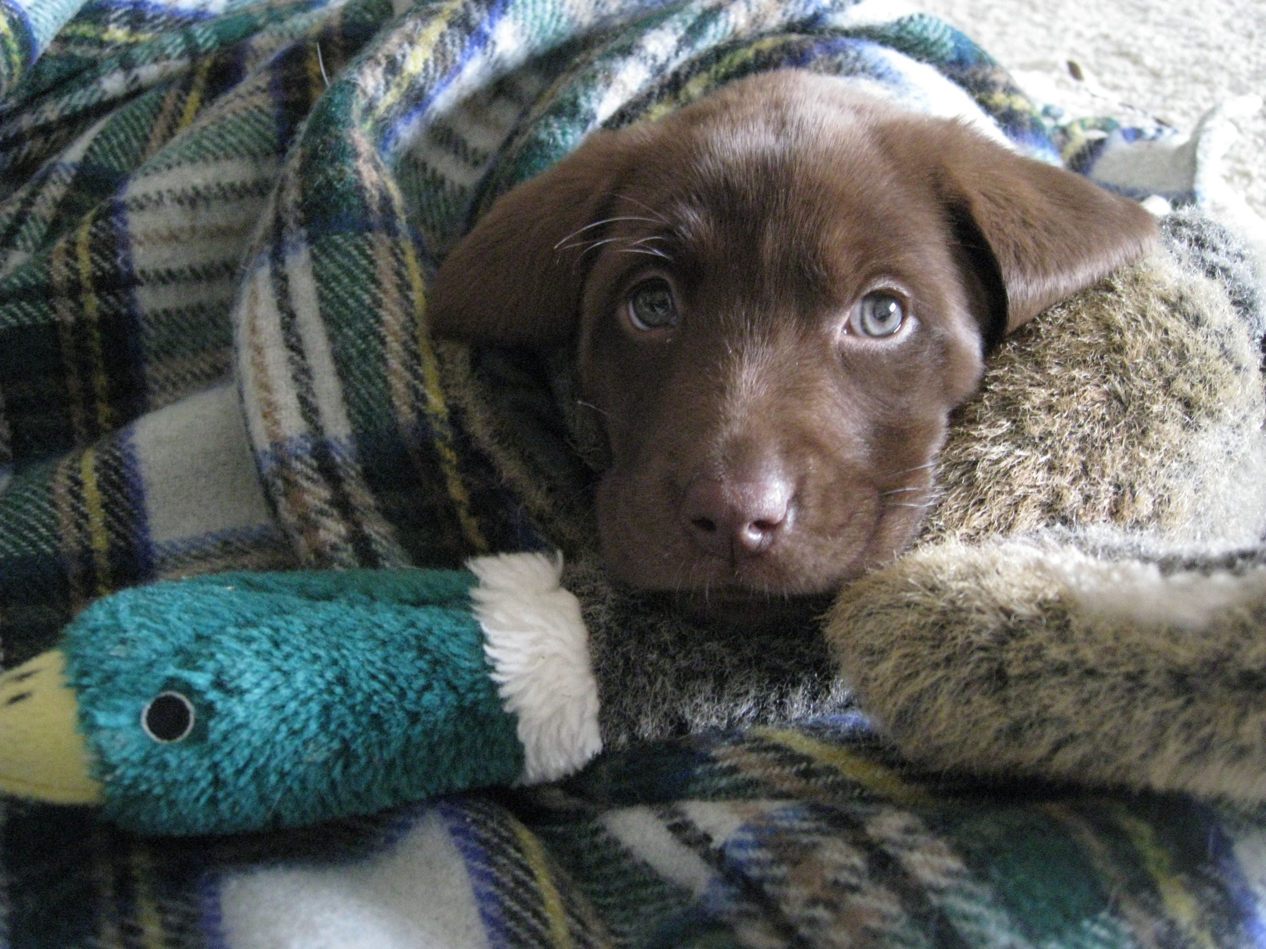 Chocolate Labs with blue eyes = love. Lab puppies, Baby