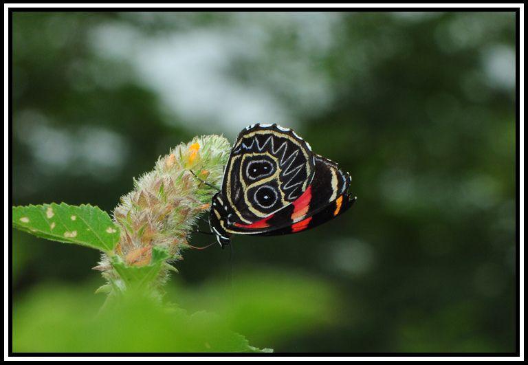 Callicore sorana - Flickr - Photo Sharing!