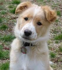 Afbeeldingsresultaat Voor Short Haired Border Collie White Brown Border Collie Puppies Brown Border Collie Sheltie