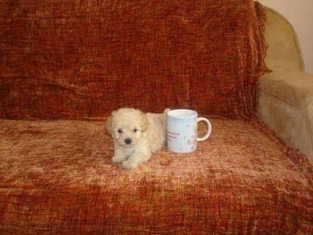 Cachorros French Tacita De Te Perritos Pinterest Dogs Pets Y