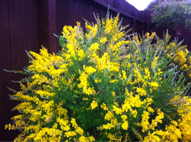 Sweet Broom Genista Racemosa Though We Can T See As Much Leaf And Flower Detail As We D Like We Think This Is Sweet B Backyard Plants Xeriscape Broom Plant