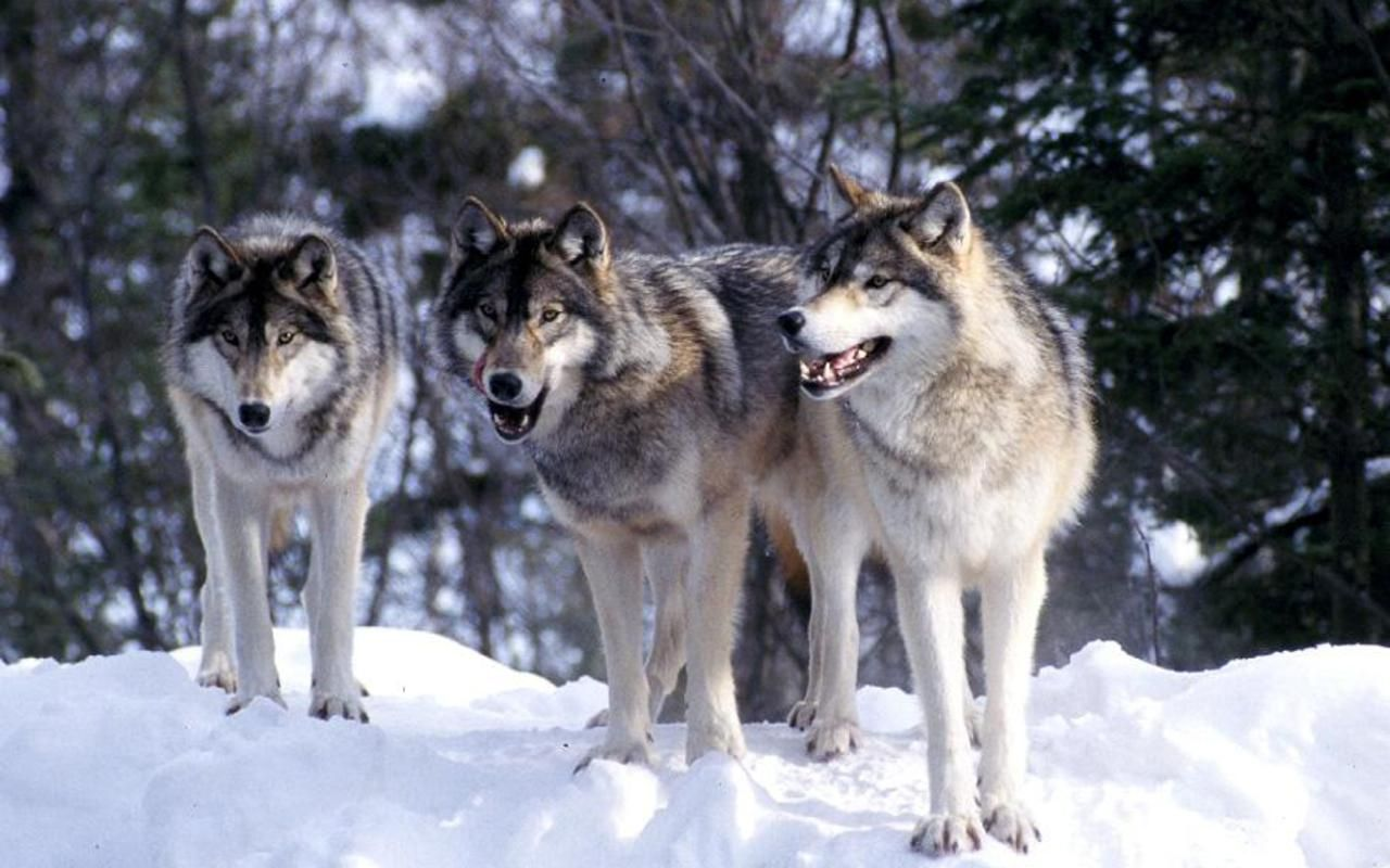 images about wolves on pinterest 1920 1080 wolves hd wallpapers