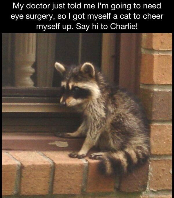 Hahaha! Racoon is the new cat.