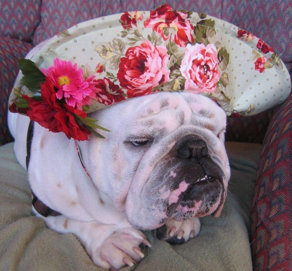 English Bulldog Easter Bonnet My Girls Need These English