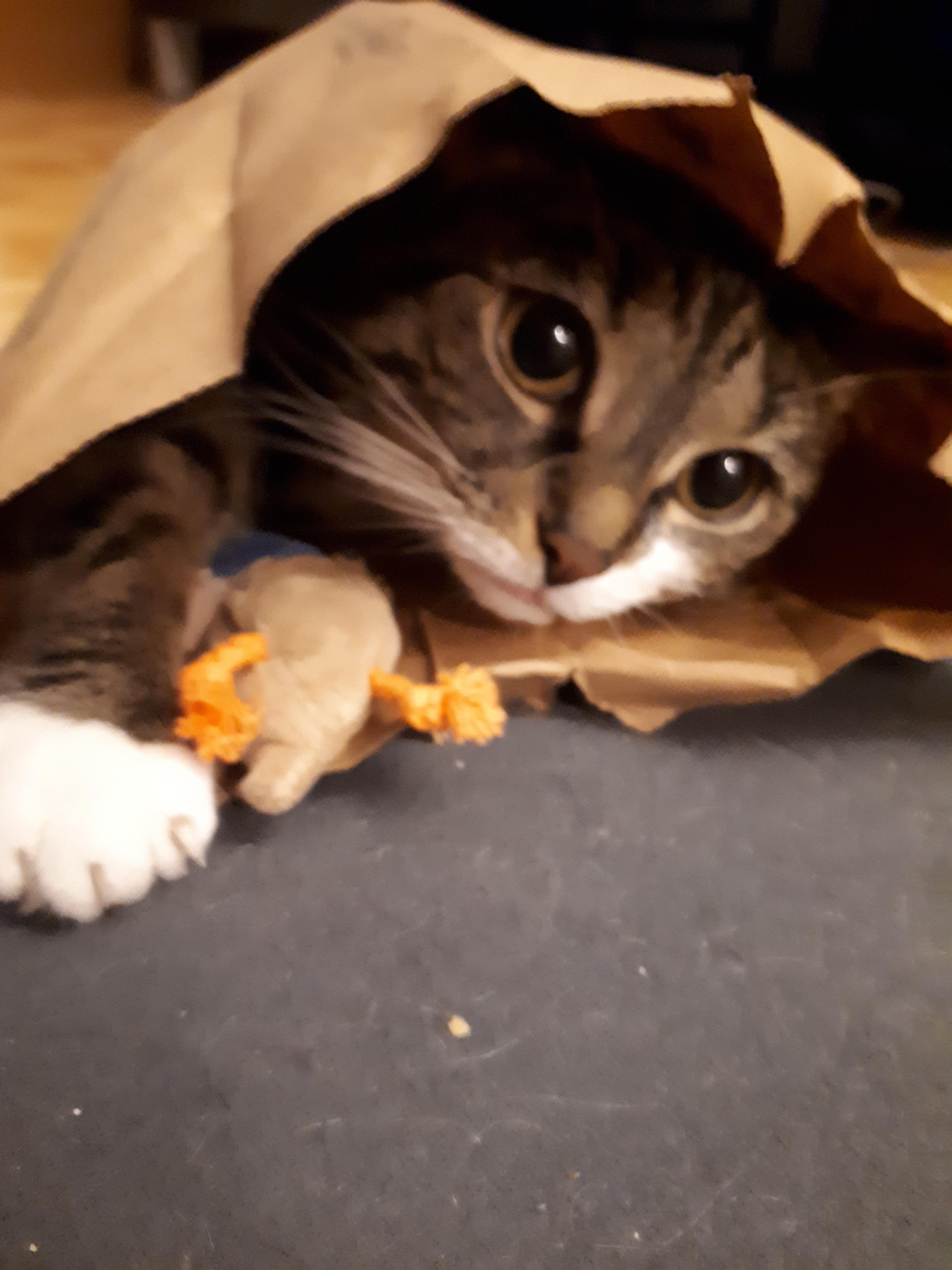 fluffy kitten birthday meme