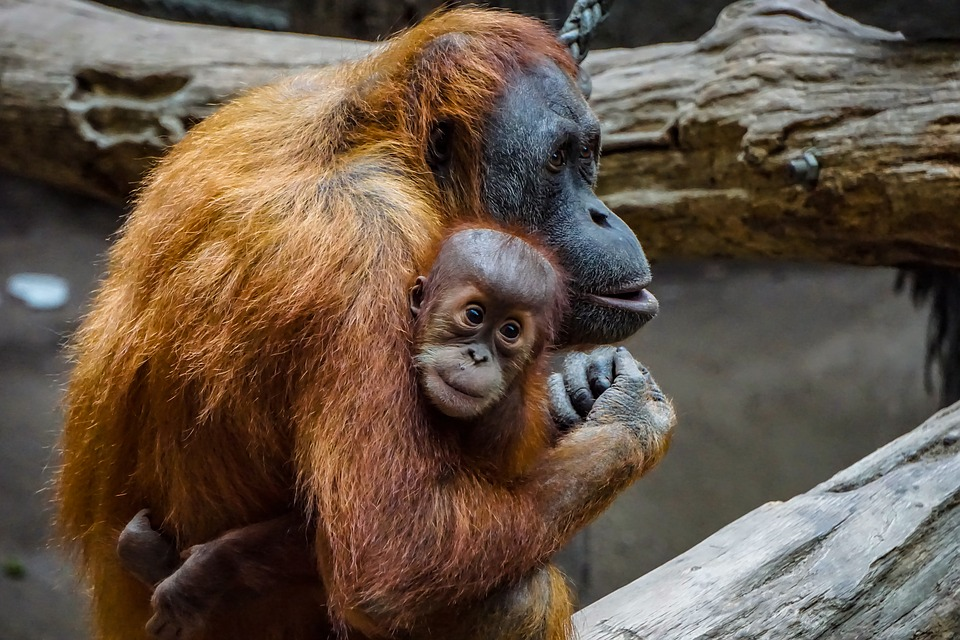 Free Image on Pixabay – Orang Utan, Monkey, Baby, Mammal