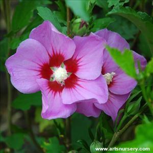 Hibiscus Syriacus Minerva Hibiscus Hibiscus Summer Blooming