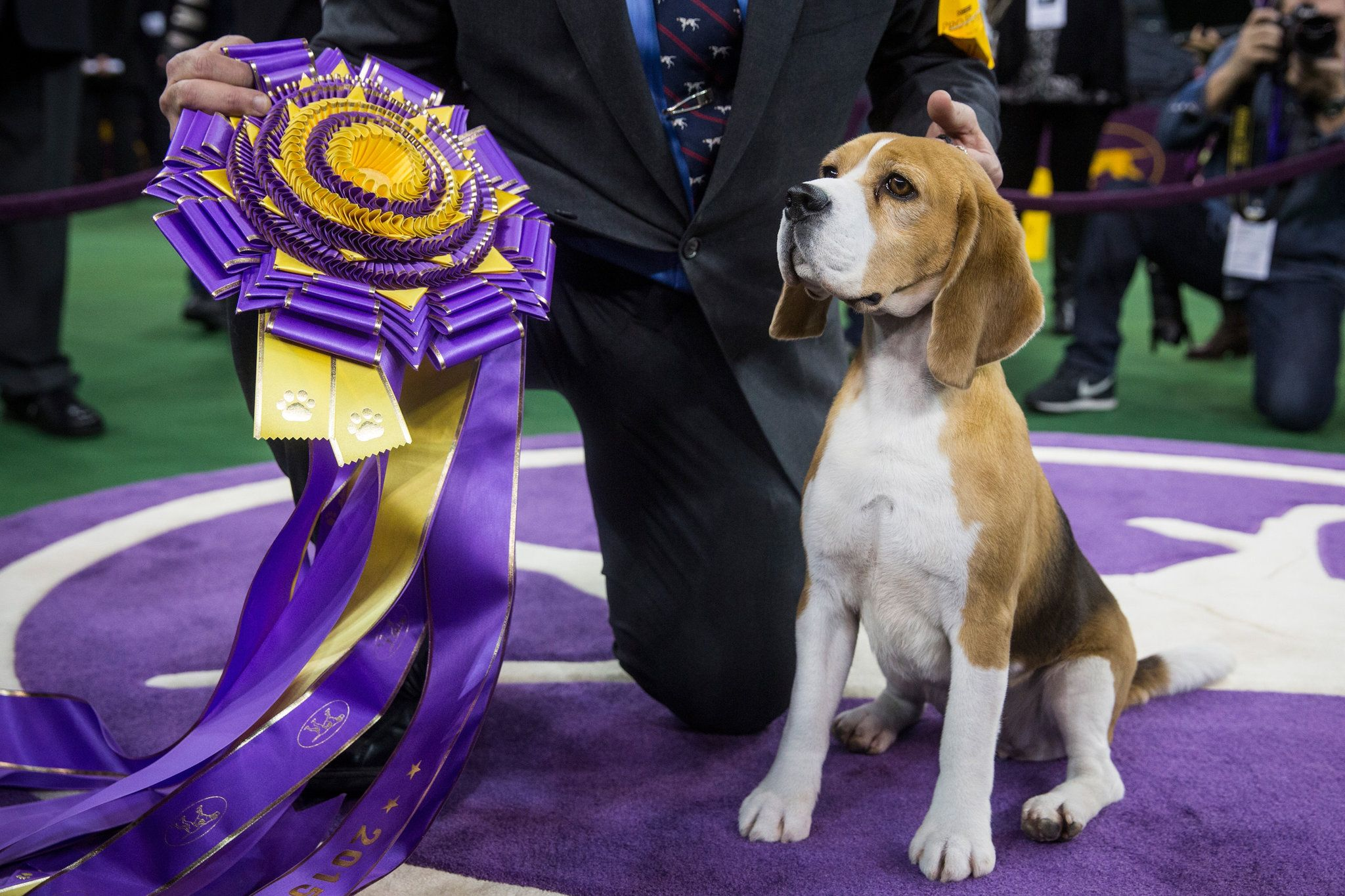A Regal Beagle Seizes The Spotlight Westminster Dog Show Dog