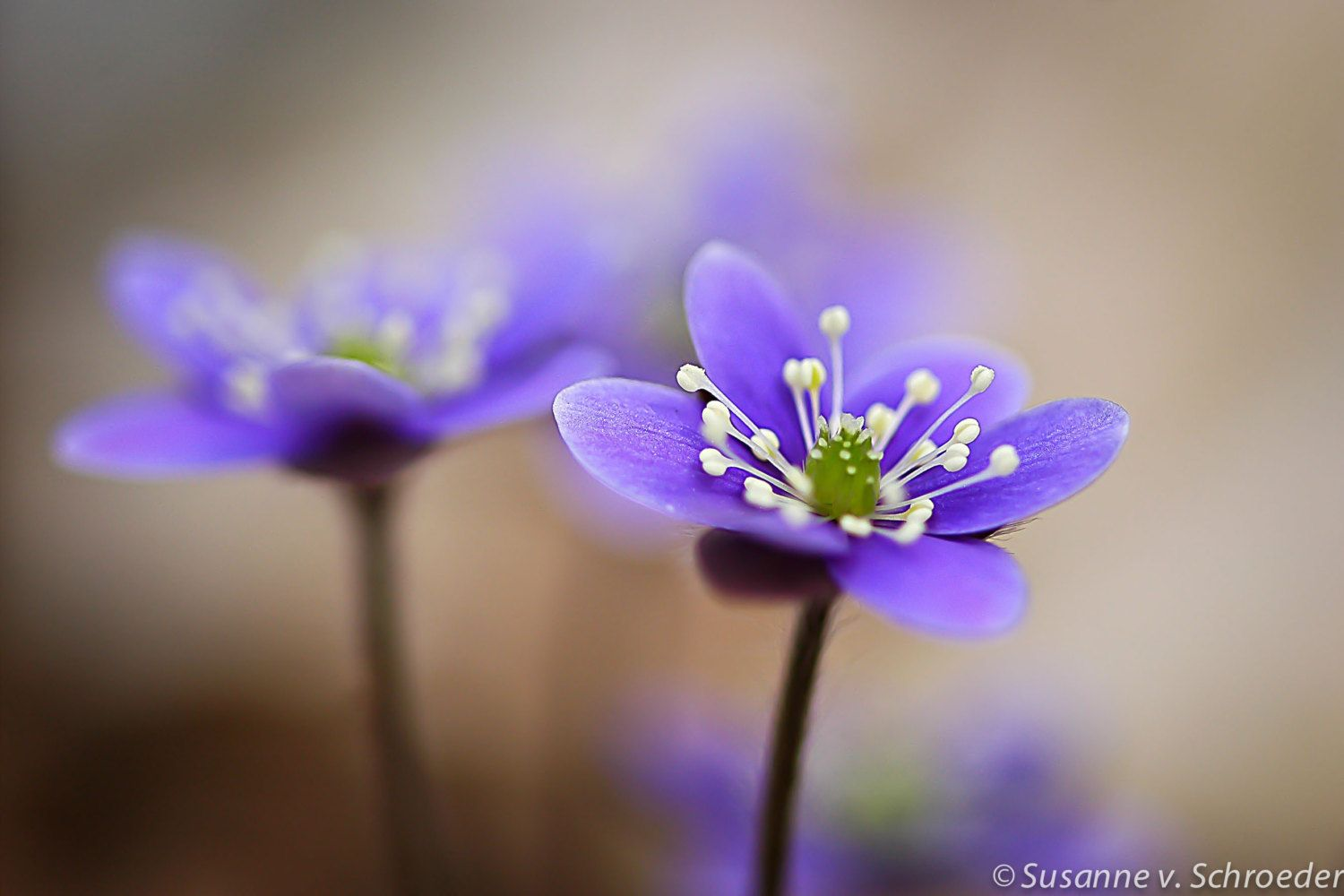 Lavender Blue, photo by Soul Centered Photoart