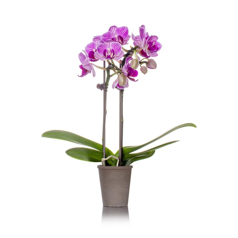 Just Add Ice Pink Mini Rustic Orchid Plant In Terra Cotta Pot 240731 The Home Depot In 2020 Orchid Plants Orchids Plant In Glass