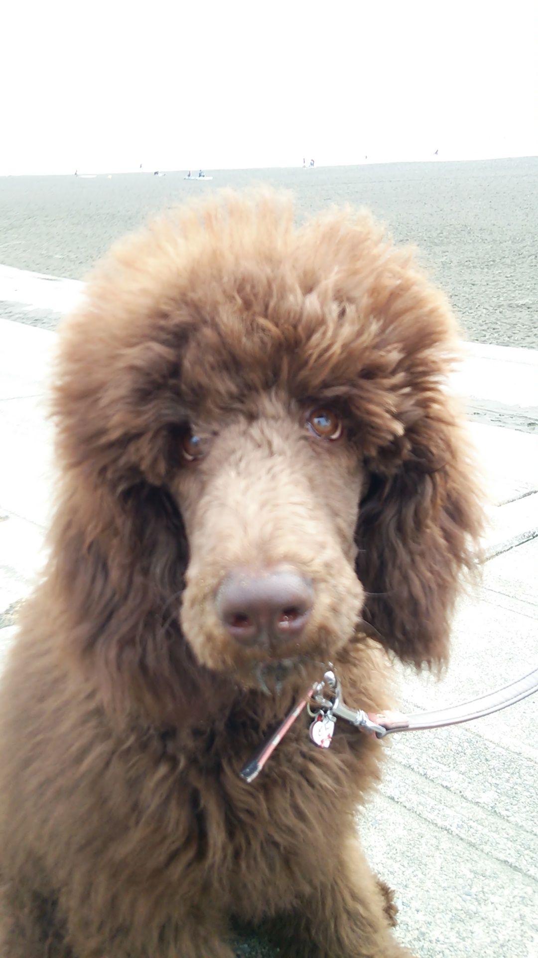 Enoshima Standard Poodle Poodle Dog Poodle