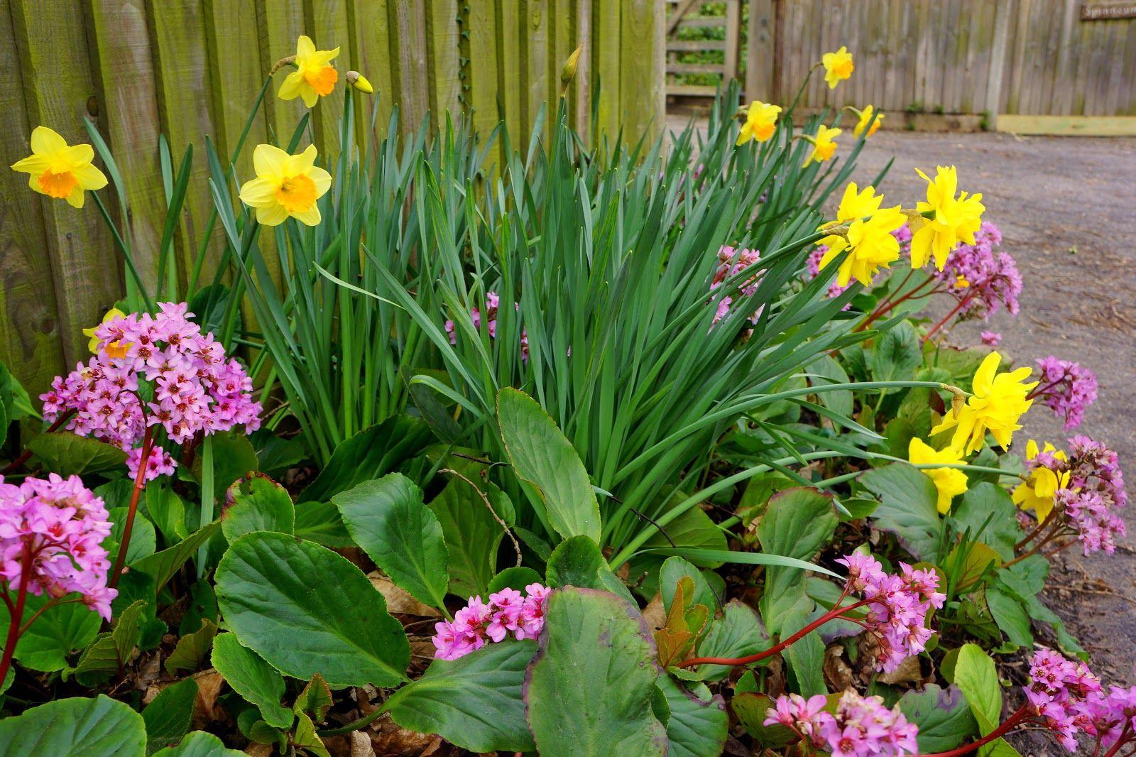 happy homemaker uk daffodils with perennial evergreen bergenia