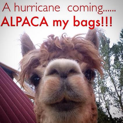 #alpaca #marysalpaca #hurricane #alpacahumor